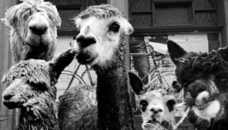 alpaca-mafia2